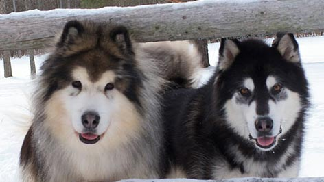 malamute best friends 1 1