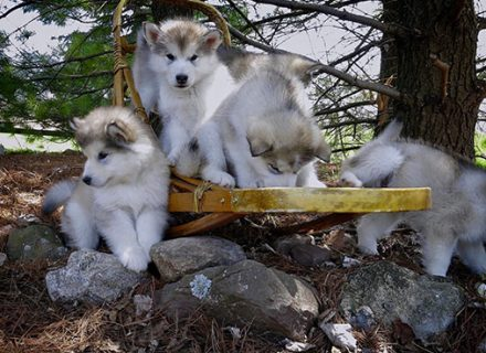 malamute-pups-play-on-sled