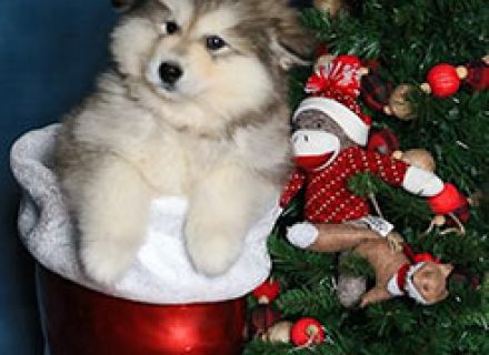 puppy-Willow-in-a-Christmas-Boot