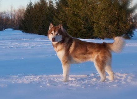 red-malamute-at-sunset-in-snow