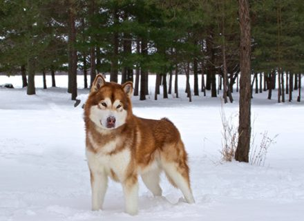 red-malamute-in-snow