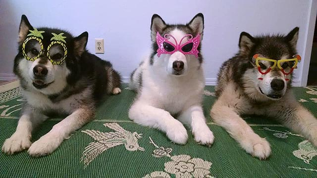 3-malamutes-with-costume-glasses