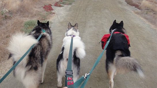 malamutes-pulling-training
