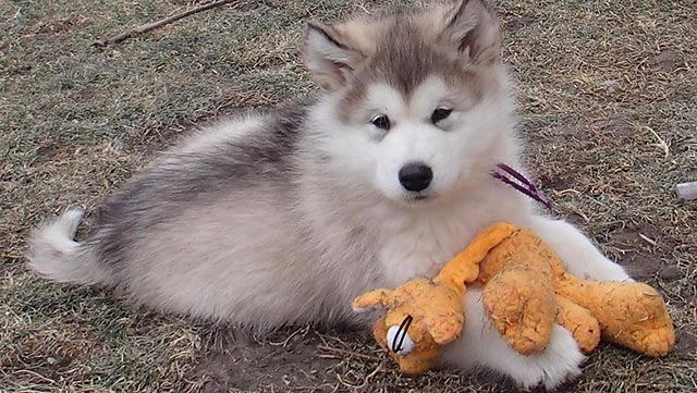 pup-with-toy