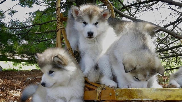 pups-on-a-sled-in-snow