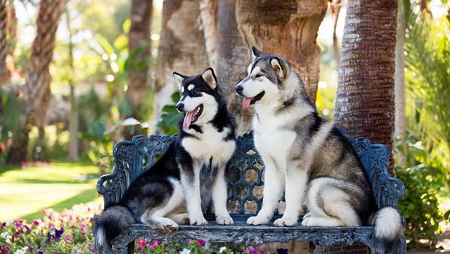 two-malamutes-on-a-bench